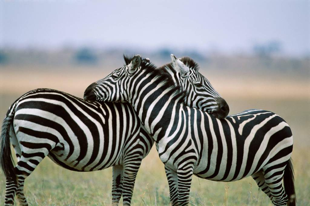 Coloring Pages For Zebra : Coloring pages of zebra e pic