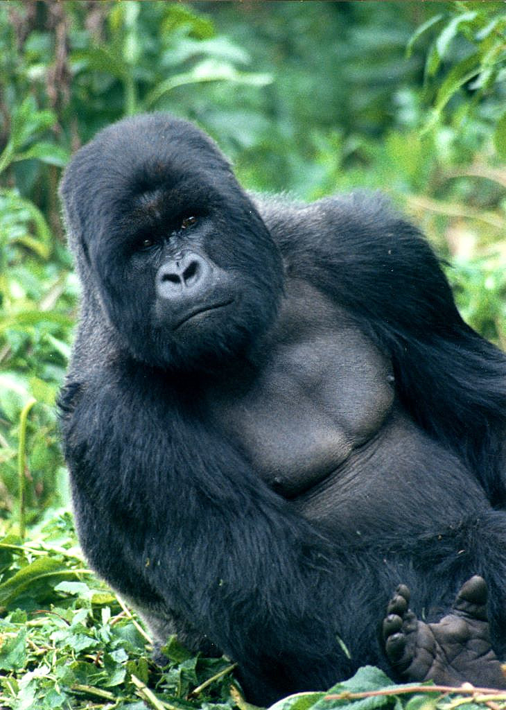 Mountain gorilla  Wikipedia