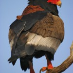 Bateleur Eagle, Chobe National Park - Botswana (1002)