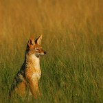 Black-backed Jackal, Central Kalhari Game Reserve - Botswana (1987)