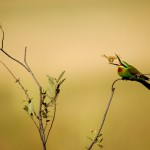 Blue-cheeked Bee-eater, Nxai Pan National Park - Botswana (3037)
