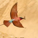 Carmine Bee-eater, South Luangwa (Mfuwe Area) - Zambia (1516b)