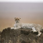 Cheetah, Serengeti National Park - Tanzania (3)
