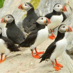 Atlantic Puffin, Machias Island, Maine - USA (1235)