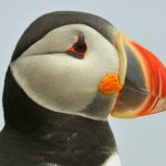 Atlantic Puffin, Machias Island, Maine - USA (1735)