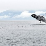 Humpback Whale, Inside Passage (Alaska) - USA (6503)