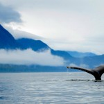 Humpback Whale, Inside Passage, Alaska - USA (6762)