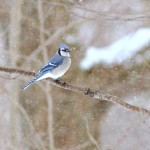 Blue Jay, Bolton Valley, Vermont - USA (7252)