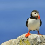 Atlantic Puffin, Machias Island, Maine - USA (8235)