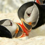 Puffin Kiss, Machias Island (Maine) - USA (9699)