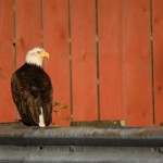 Bald Eagle, Petersburg, Alaska - USA (1)