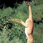 Gerenuk, Samburu National Park - Kenya (1)