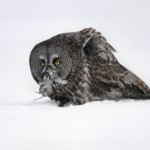 Great Gray Owl-5875