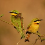 Little Bee-eater, Chobe National Park - Botswana (18)