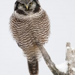 Northern Hawk Owl, Vermont (1032)