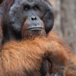 Orangutan, Tanjung Puting National Park - Borneo (2)