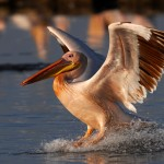 Pelican, Lake Nakuru National Park - Kenya (2461)