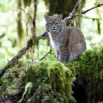 Bobcat, Hoh Rainforest, Olympic NP (4797)