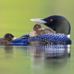 Atlantic Loon, Vermont (7317)