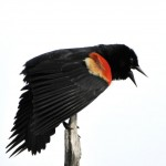Red-winged Blackbird_DSC1111- shot of month