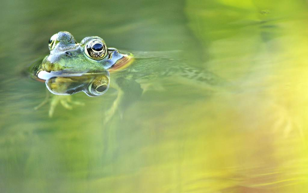 Green Frog, Vermont - USA (2616)