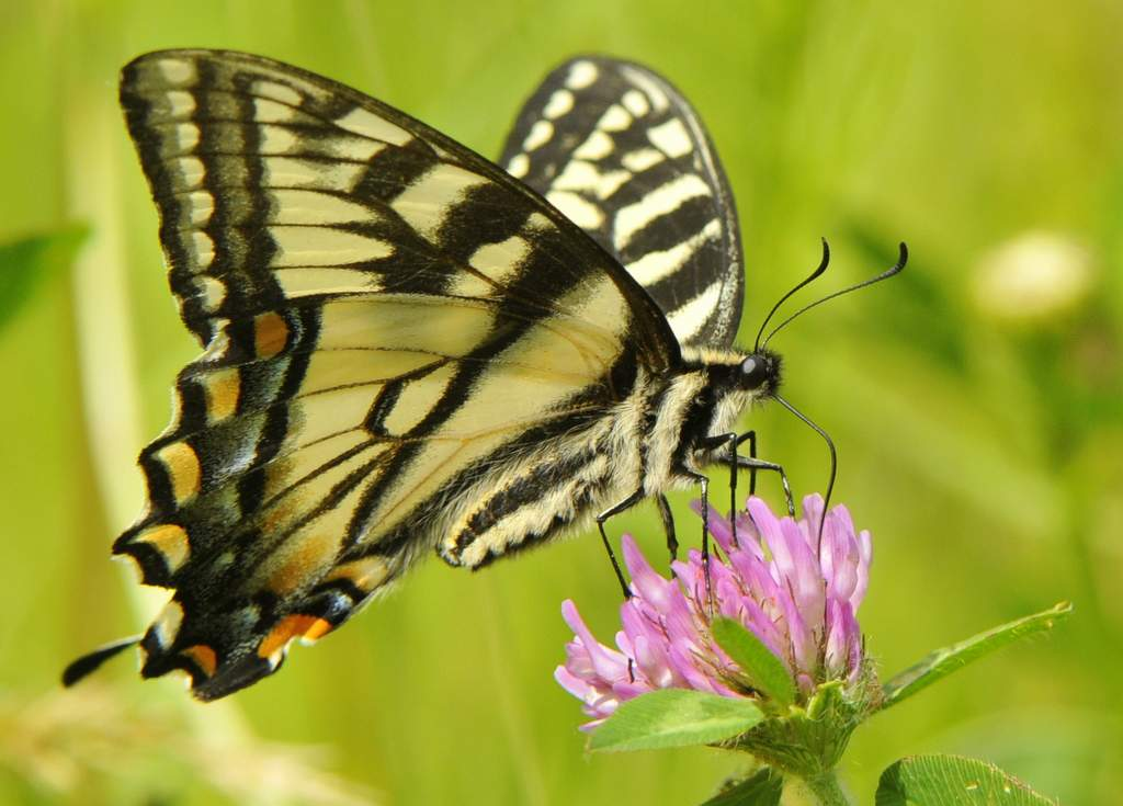 Canadian Tiger Swallowtail, Vermont - USA (3648)