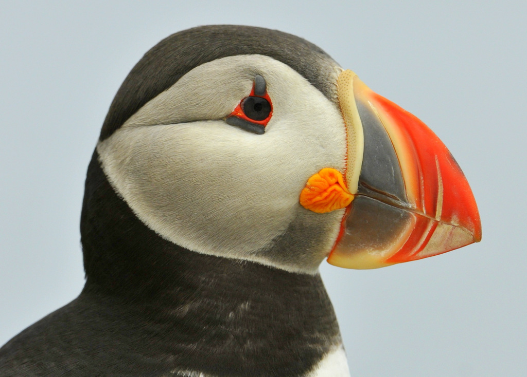Atlantic Puffin, Machias Seal Island, ME - USA (1753)