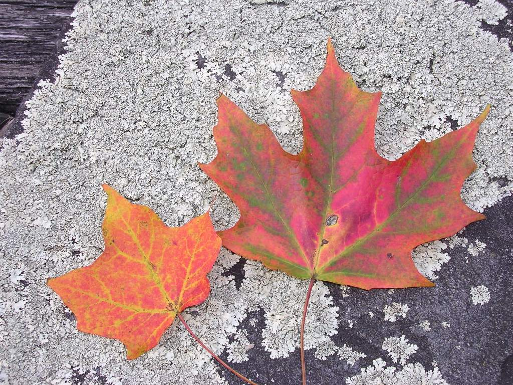 Fall Leaves, USA (0750)