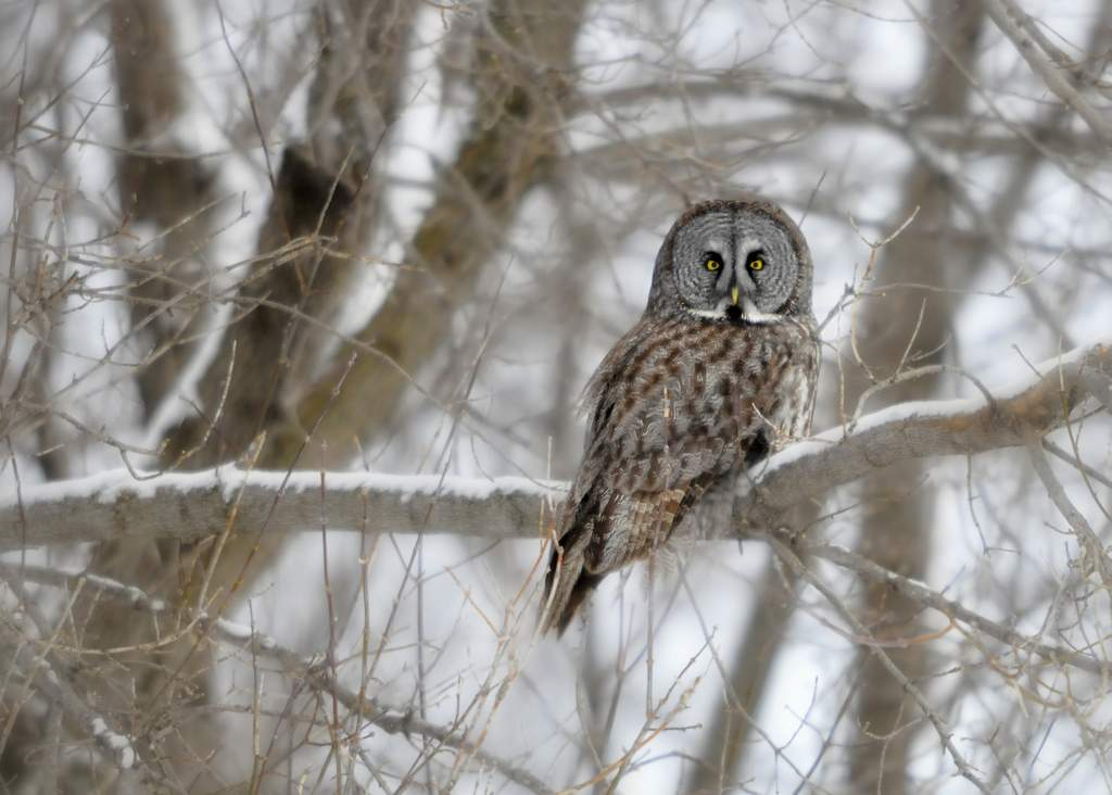 Great Gray Owl, Canada (4448)