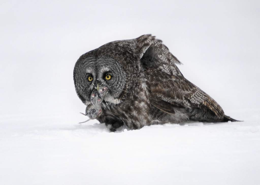 Great Gray Owl, Canada (5875)