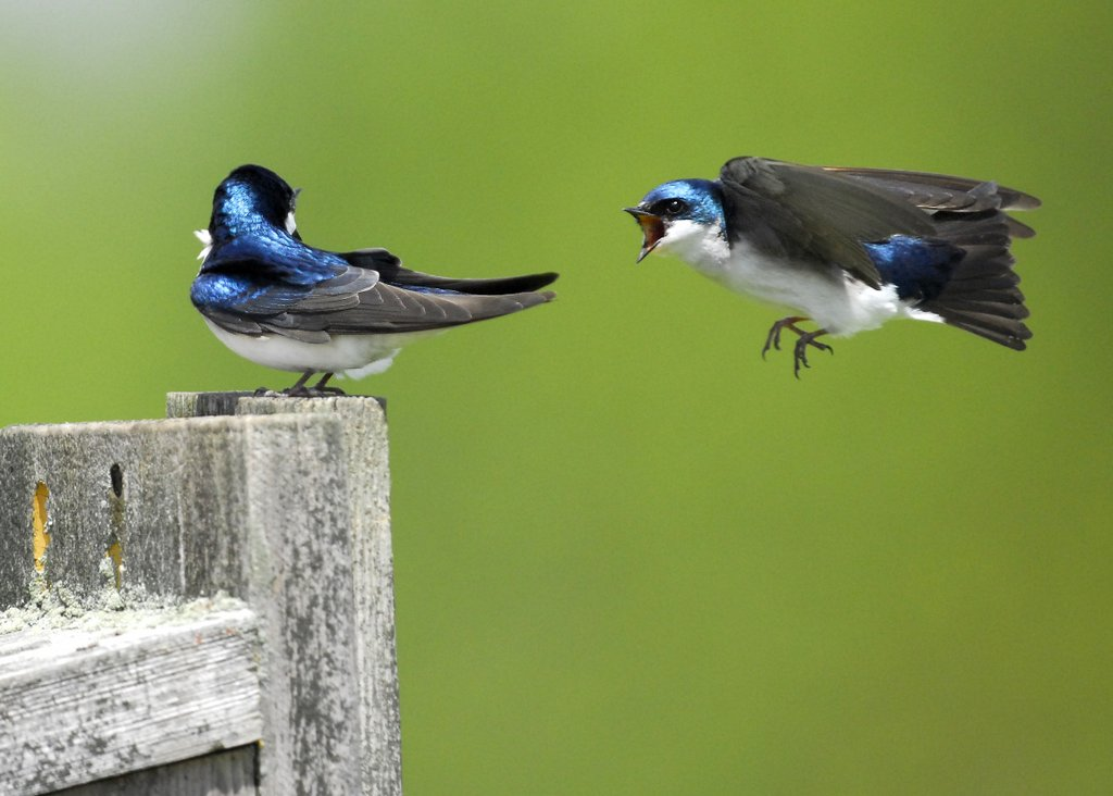 Tree Swallow, Bombay Hook NWR - USA (6057)