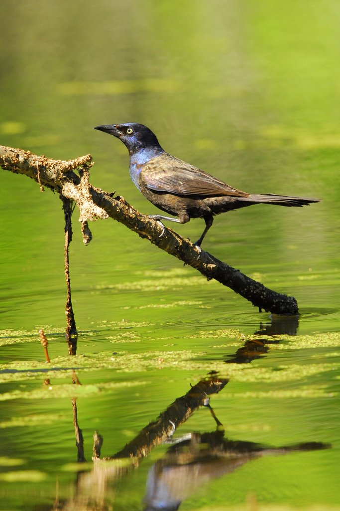 Common Grackle, Vermont - USA (7840)