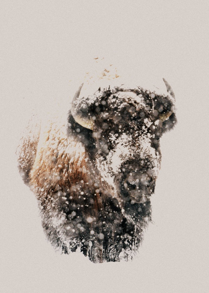 American Bison, Yellowstone NP-USA (1401)