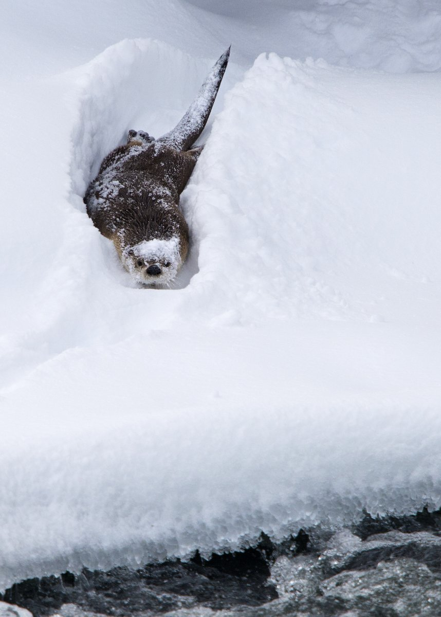 North American River Otter, Yellowstone National Park - US (2222)
