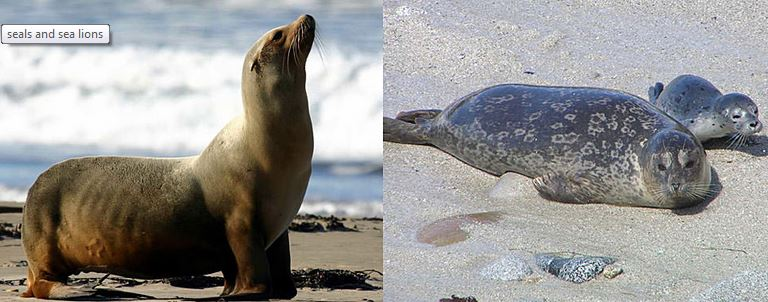 Sea Lion and Seal Comparison
