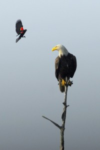 Red-winged Blackbird and Bald Eagle (7807)