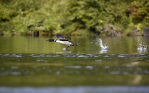 Loon Take Off (9455)