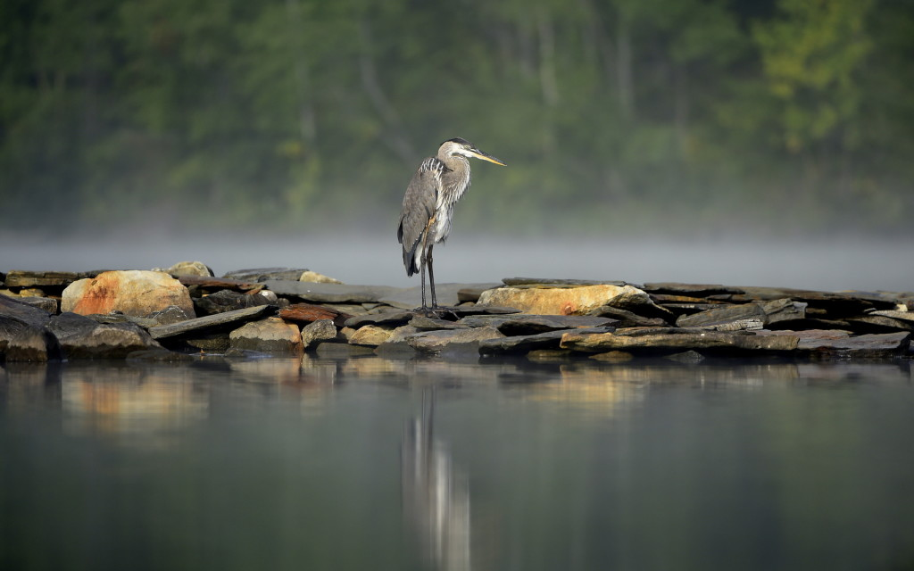 Blue Heron, Vermont -USA (4048)