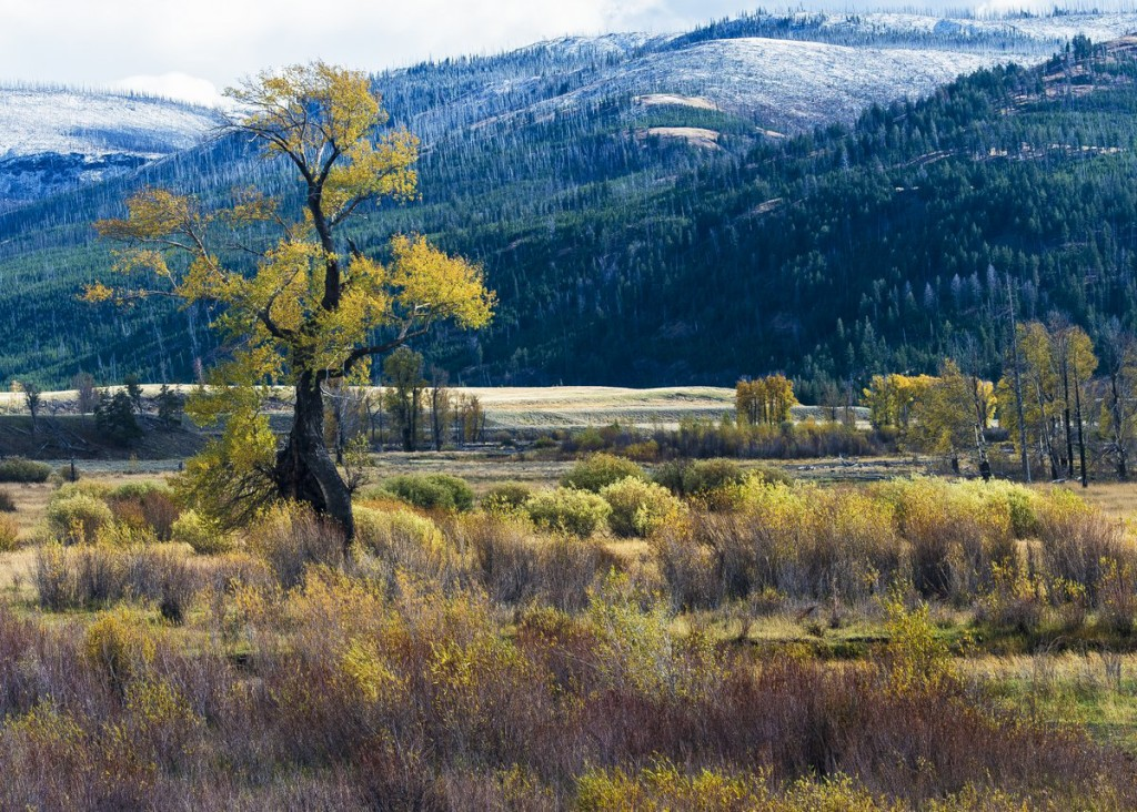 Cottonwood Tree, Yellowstone NP (1045)