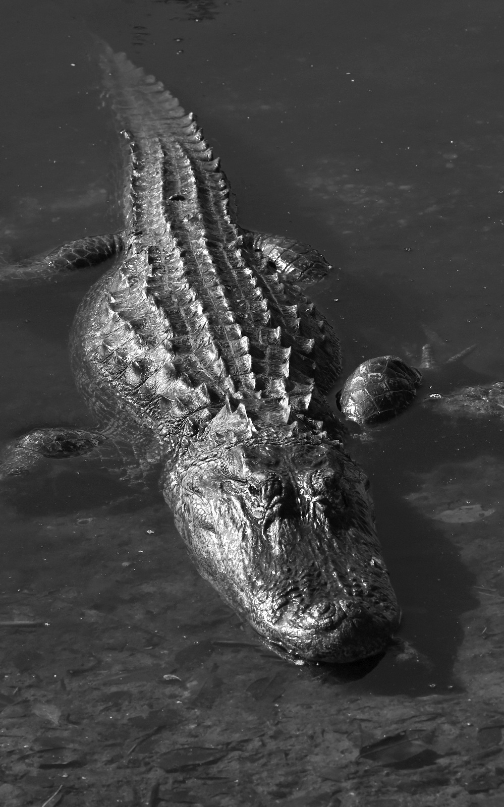 Alligator, Florida (3890)