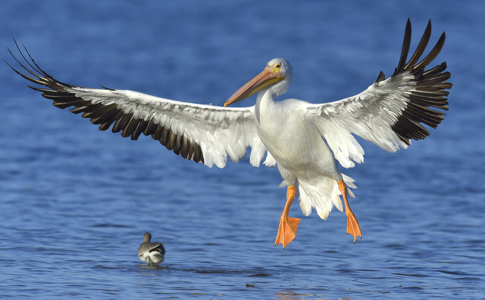 White Pelican, Ding Darling NWR (5446)