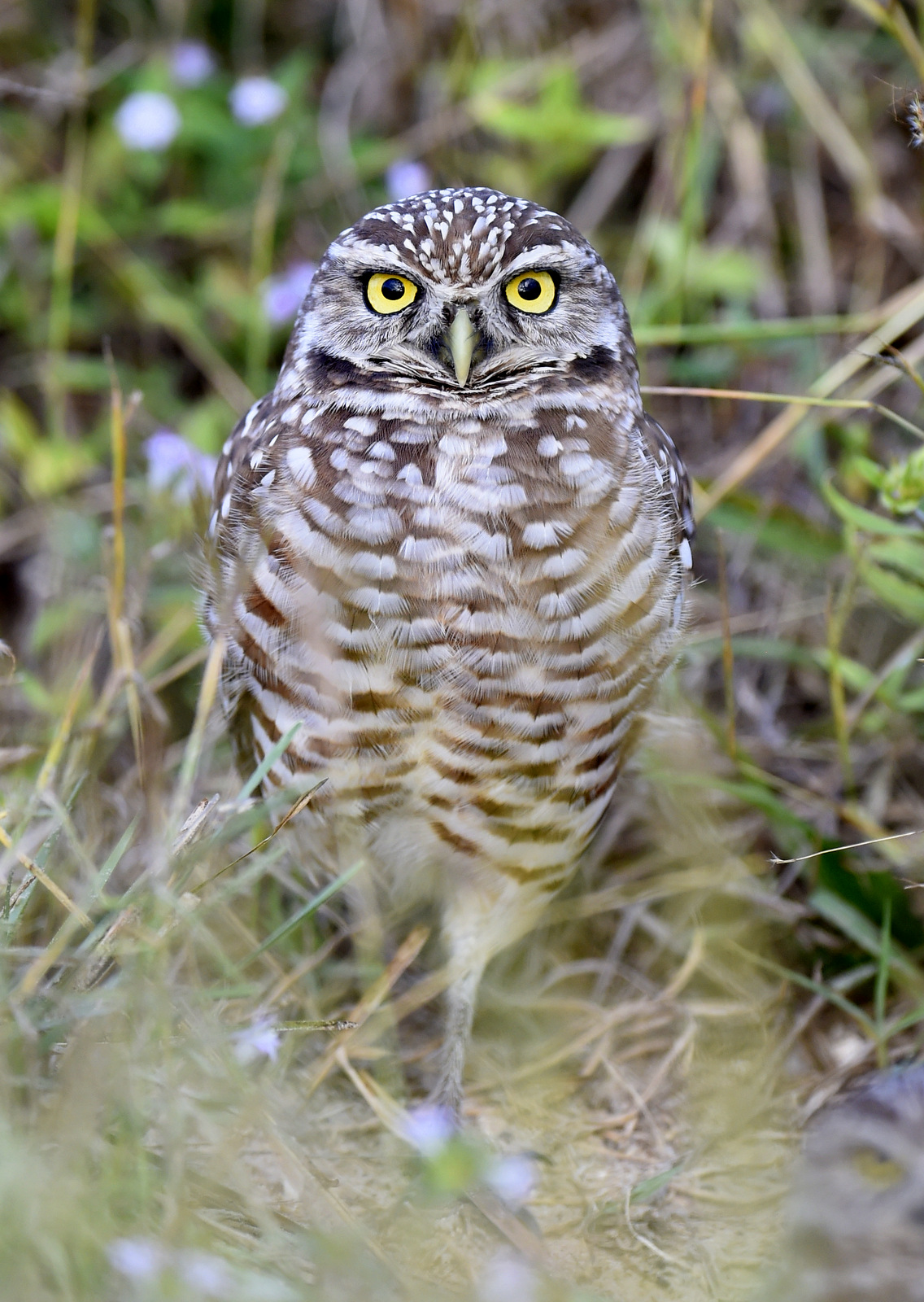 Burrowing Owl, Cape Coral, FL-USA (8025)