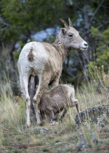 Bighorn Sheep, Yellowstone NP (9816)