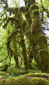 Hoh Rainforest (5033)