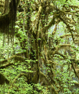 Hoh Rainforest (5128)