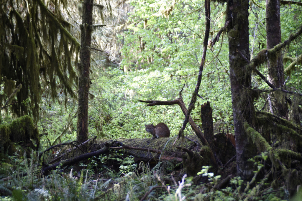 Bob Cat, Hoh Rainforest (4634)