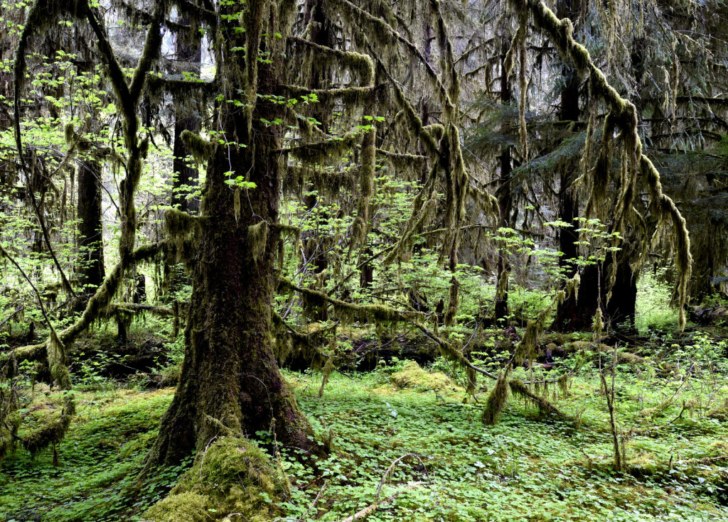 Hoh Rainforest (4888)