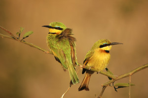 Little Bee-Eater (0018)