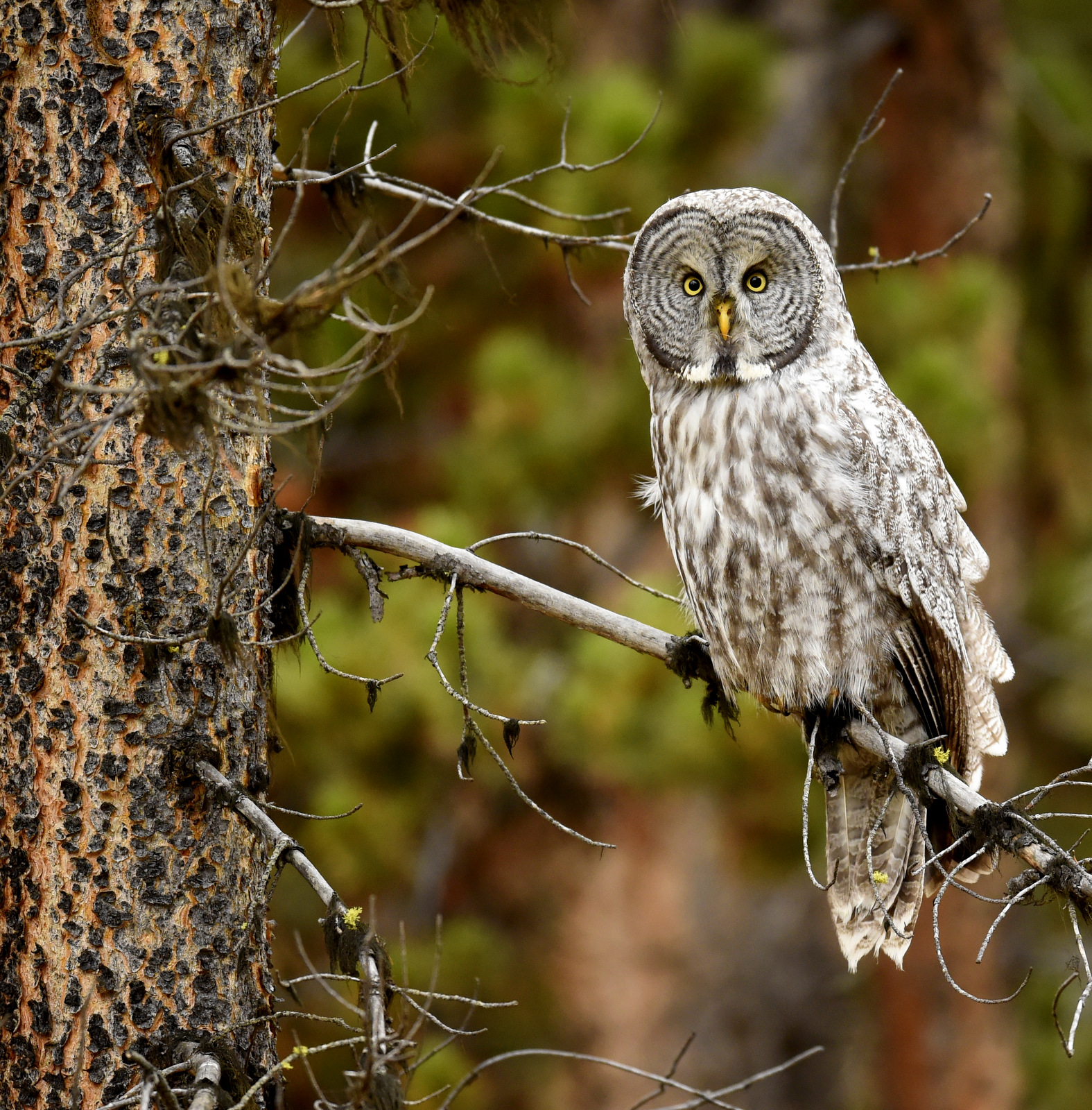 Great Gray Owl, Yellowstone NP (0550)