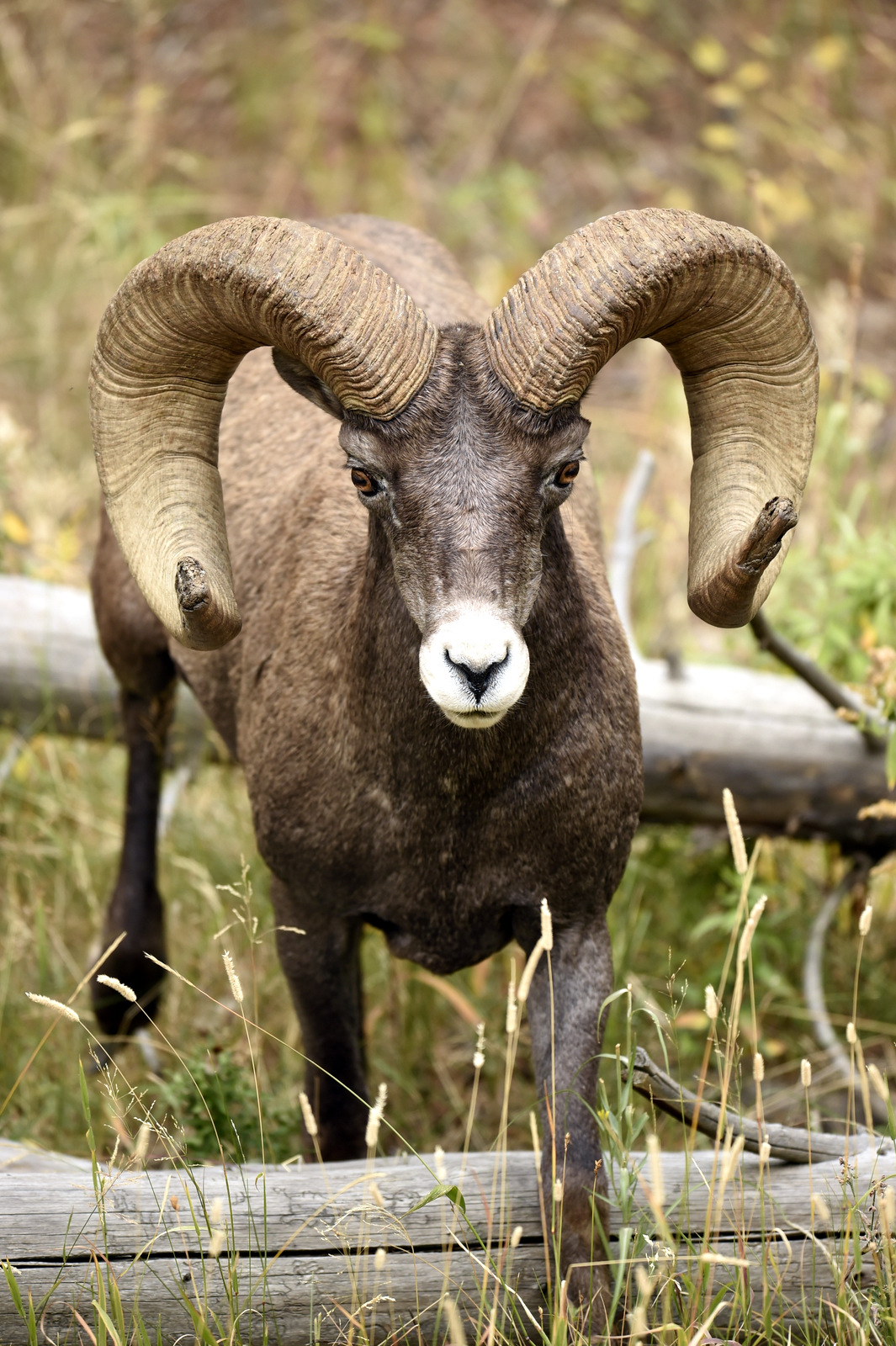 Bighorn Sheep, Yellowstone NP (5387)